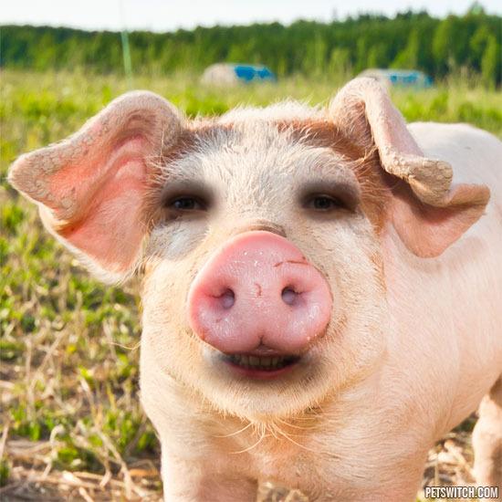 louison cochon